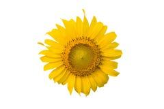 在被隔绝的白色背景的向日葵 免版税库存图片