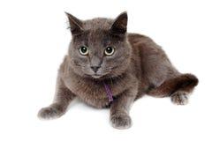 在被隔绝的白色背景的灰色猫。 免版税库存图片
