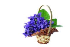 在被隔绝的篮子的蓝色紫罗兰 库存照片