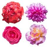 在被隔绝的背景的大竺葵、大丽花和玫瑰优质质量 库存照片