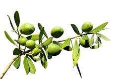 在被隔绝的背景的橄榄树枝 免版税库存照片