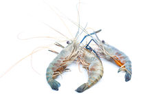 在被隔绝的背景的淡水小龙虾 库存照片