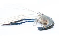 在被隔绝的背景的淡水小龙虾 图库摄影