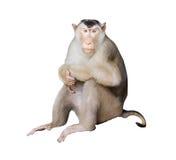 在被隔绝的背景的画象猴子 (猪被盯梢的短尾猿) 库存图片