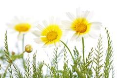 在被隔绝的草的三朵雏菊 库存照片