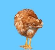 在被隔绝的蓝色背景的鸡,掩藏头在翼下,一个特写镜头动物 免版税库存图片