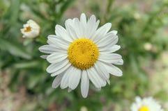 在被隔绝的领域的一朵雏菊花 免版税库存照片