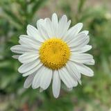 在被隔绝的领域,接近的一朵雏菊花 库存图片