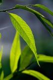 在被隔绝的黑暗的背景的绿色叶子特写镜头。 免版税图库摄影