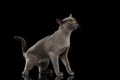 在被隔绝的黑背景的蓝色缅甸小猫 免版税库存图片