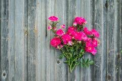 在被风化的木背景的庭院玫瑰 情人节后面 库存照片