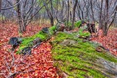 在被击倒的树的青苔在HDR高力学范围 库存图片