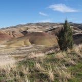 在被绘的小山的杜松树 库存图片