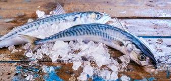 在被击碎的冰的两条未加工的鲭鱼鱼 图库摄影