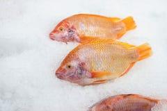 在被击碎的冰的红色罗非鱼鱼 库存照片