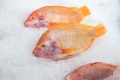 在被击碎的冰的红色罗非鱼鱼 库存图片