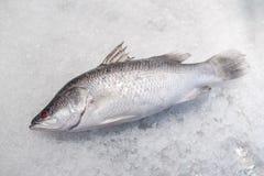 在被击碎的冰的鲈鱼鱼 免版税库存图片