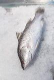 在被击碎的冰的鲈鱼鱼 库存图片