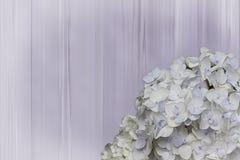 在被仿造的背景前的八仙花属绽放 图库摄影