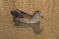 在装饰池塘的一只幼小雌红松鸡,南安普敦共同性的 库存照片