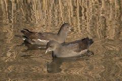 在装饰池塘的两只幼小雌红松鸡,南安普敦共同性的 免版税库存图片
