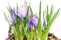 在装饰篮子的几朵紫色番红花 库存图片
