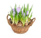 在装饰篮子的几朵紫色番红花 免版税库存照片