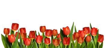 在装饰边界的红色郁金香花 图库摄影