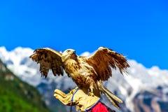在裕隆雪山的猎鹰 库存图片