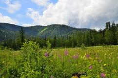 在西伯利亚山山麓小丘的开花的谷  免版税库存图片