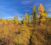 在西伯利亚沼泽的秋天 免版税库存照片