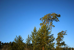在西伯利亚taiga的孤独的杉木 免版税库存照片