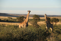 在西北部,南非的长颈鹿 库存图片