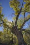 在西南秋天的峡谷的三角叶杨树在亚利桑那的沙漠 库存图片
