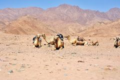 在西奈山的骆驼,埃及 免版税库存图片