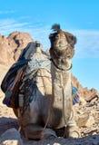 在西奈山的骆驼 图库摄影