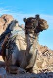 在西奈山的骆驼 免版税库存照片
