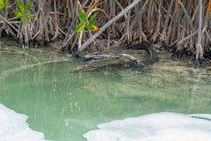 在西安Kaan自然保护生物圈的鳄鱼  库存图片