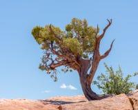在西方外缘足迹的犹他杜松,过时的问题国家公园, UT 库存图片