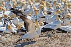在西海岸的海角gannet 免版税库存照片