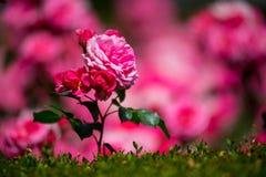在西班牙找到的玫瑰园 免版税库存图片