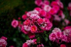 在西班牙找到的玫瑰园 库存照片