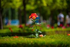 在西班牙找到的玫瑰园 免版税库存照片
