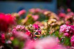 在西班牙找到的玫瑰园 免版税图库摄影