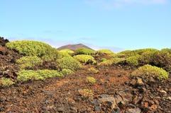 在西班牙火山岛兰萨罗特岛上的普通的普通植被 图库摄影