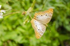 在西班牙针的Victorinini蝴蝶 免版税库存图片