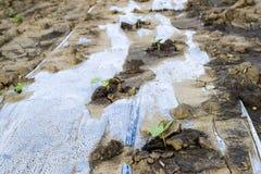 在西瓜和瓜的领域的供水系统 瓜和西瓜射击  被播种的瓜领域 库存照片