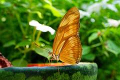 在西瓜的蝴蝶 免版税库存照片