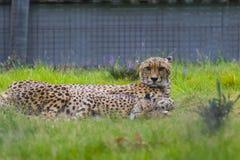 在西米德兰平原徒步旅行队公园动物园的猎豹 库存照片