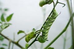 在西红柿藤的垫铁蠕虫  免版税库存照片